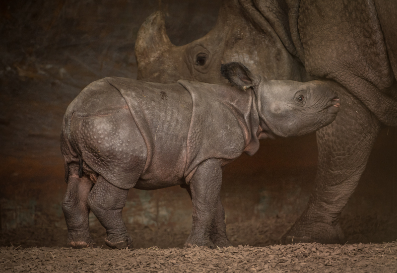 9_Rare greater one-horned rhino born at Chester Zoo (18)