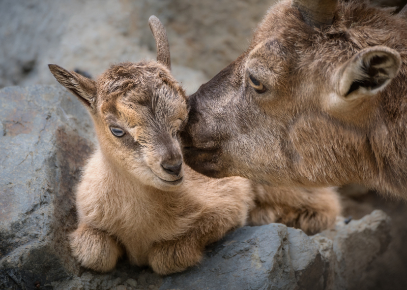 2_Markhor Newborn with Mom Kiss JEP_0902