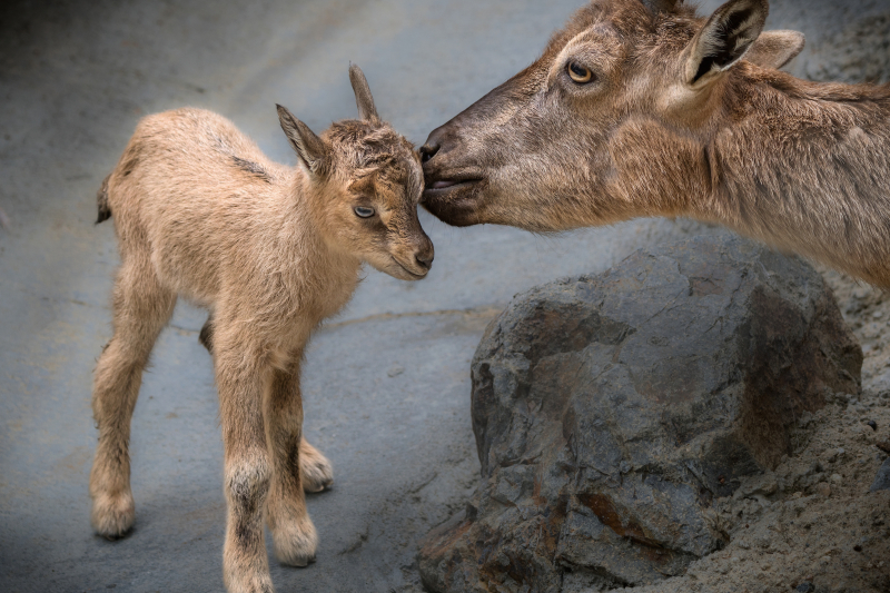 3_Markhor Newborn with Mom Kiss JEP_0952