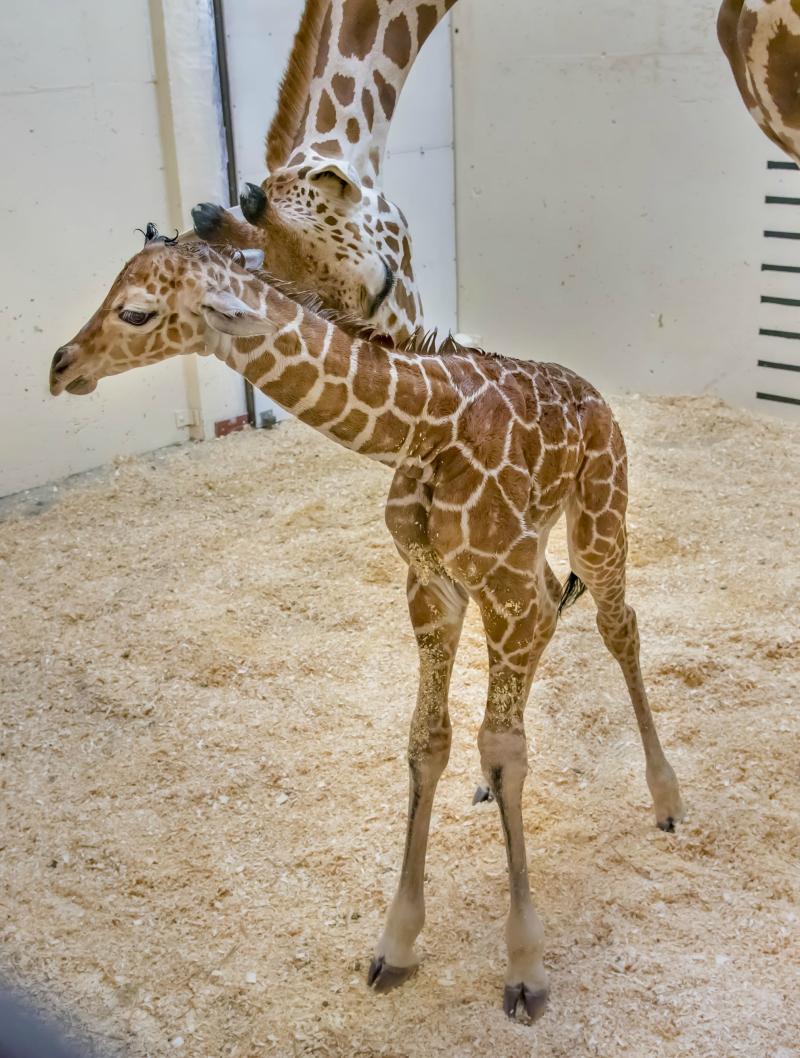 Giraffe Baby 05-2018-7047 E