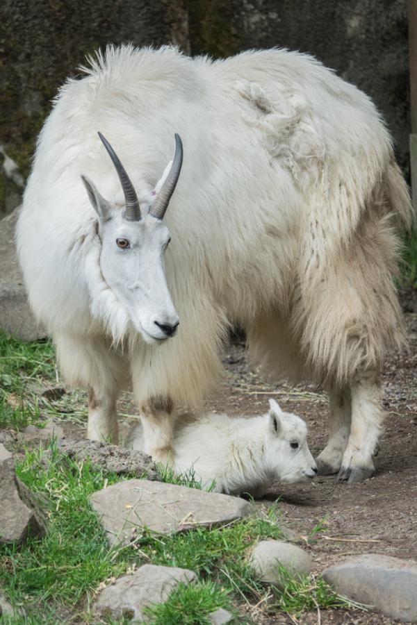 Baby Born At 25 Weeks: 'Sassy' Mountain Goat Gives Birth To Sassy Kid