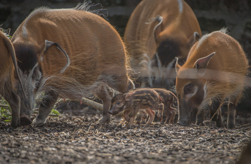10_Stars in stripes! Trio of red river hoglets born at Chester Zoo (9)