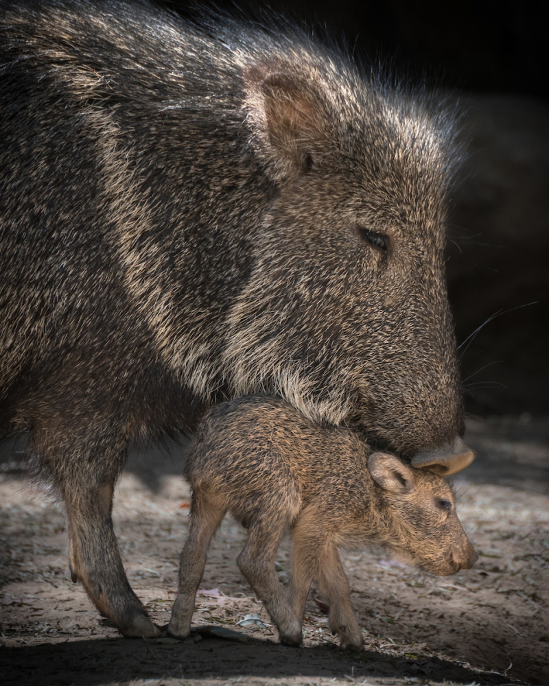 2.2 peccary piglet with adult photo by Jamie Pham
