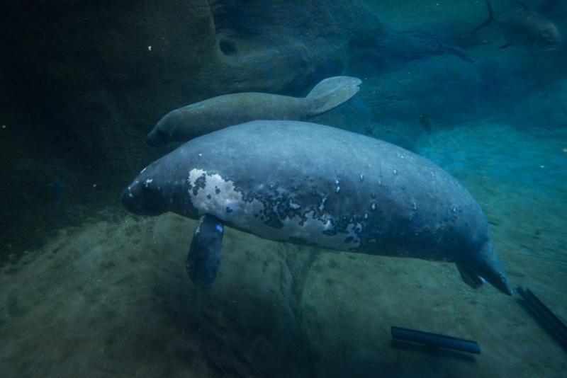 Manatee (Female) 3251 - Grahm S. Jones  Columbus Zoo and Aquarium
