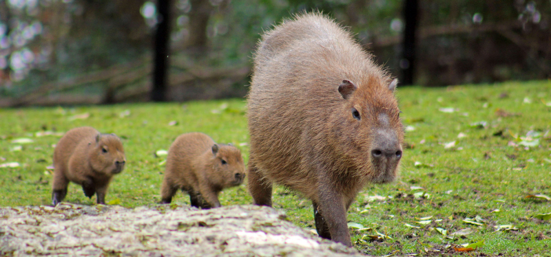 2_(1)  Belfast Zoo keepers are saying 'hola' to more new arrivals as two capybara have been born!