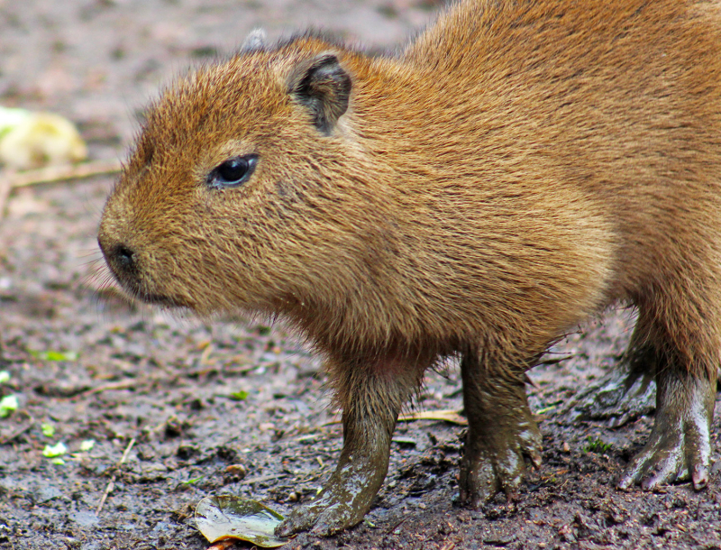 5_(4)  The capybara is a semi-aquatic mammal.  They have webbed feet and can hold their breath for up to 5 minutes!
