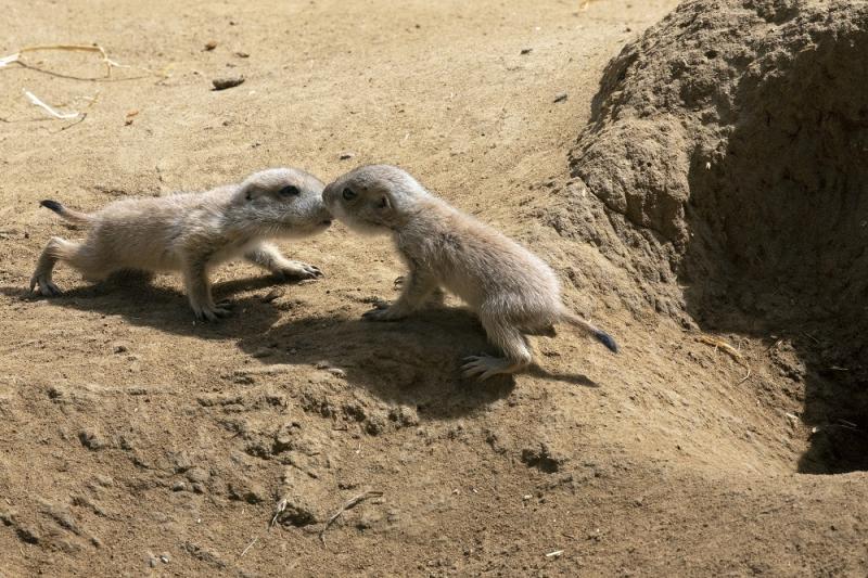 Prairie Dog Pups Emerging at San Francisco Zoo - ZooBorns