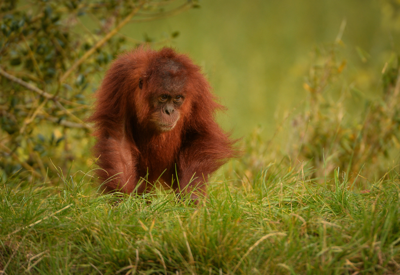 1_Mischievous Sumatran orangutan Tuti pesters her aunt in the most adorable way at Chester Zoo
