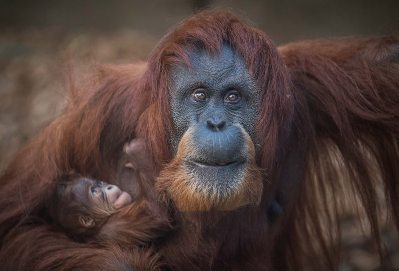 5_Sumatran orangutan mum Emma with her newest arrival Kesuma