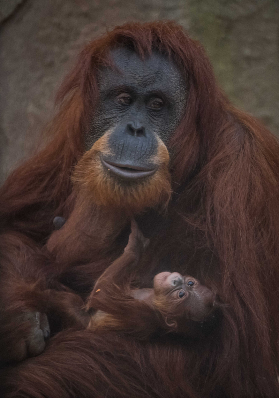 6_Sumatran orangutan mum Emma with her newest arrival Kesuma (1)