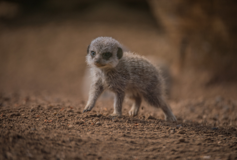Four playful meerkat pups born at Chester Zoo (22)