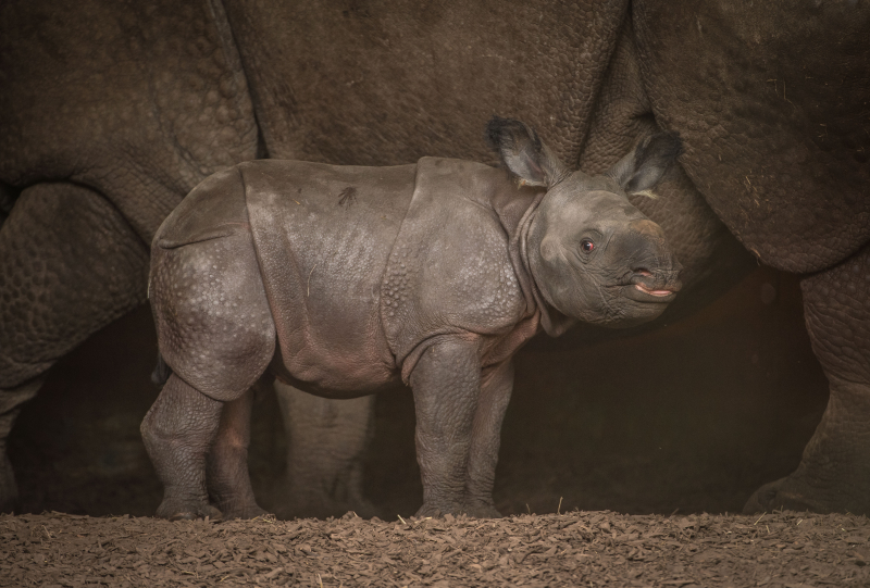10_Rare greater one-horned rhino born at Chester Zoo (19)