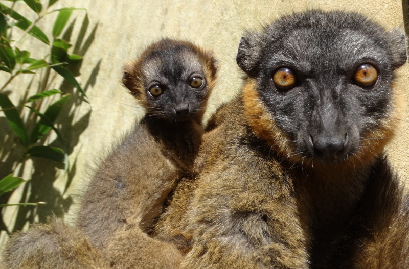1_Baby Collared Lemur with mum Anais (1)