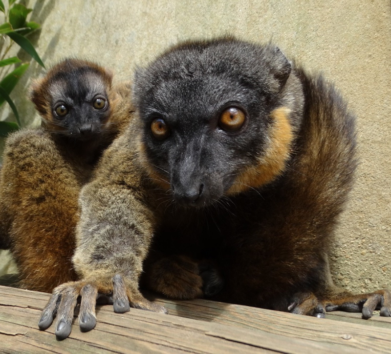 3_Collared Lemur baby with mum Anais (DR1)