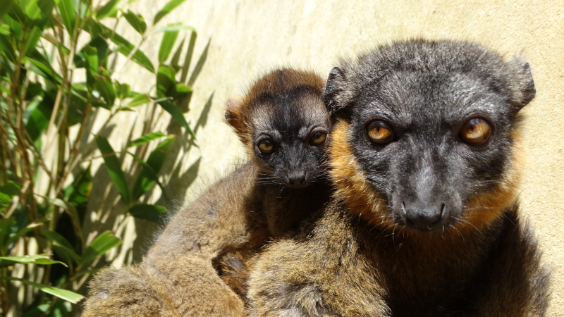 4_Collared Lemur baby with mum Anais (DR4)