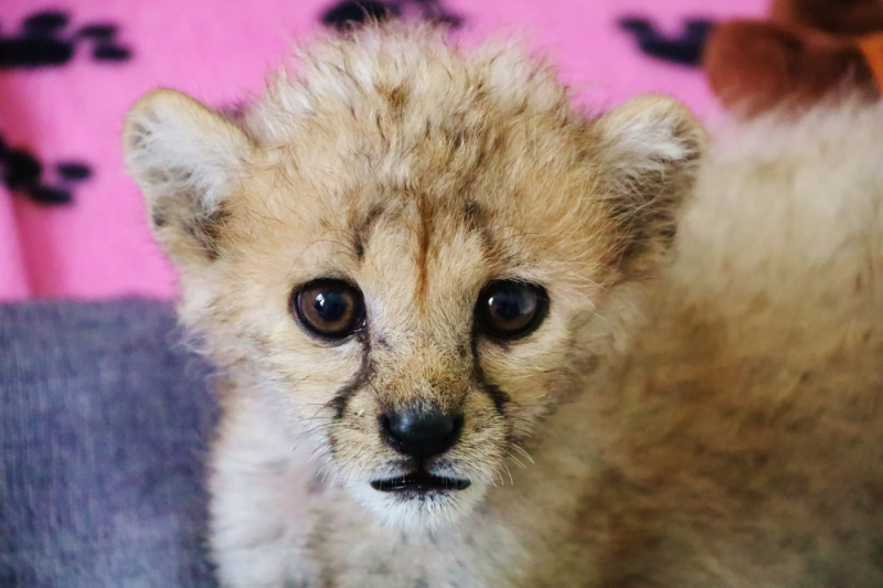 1_Xena the cheetah cub close up at Longleat PIC Ian Turner (1400x933)