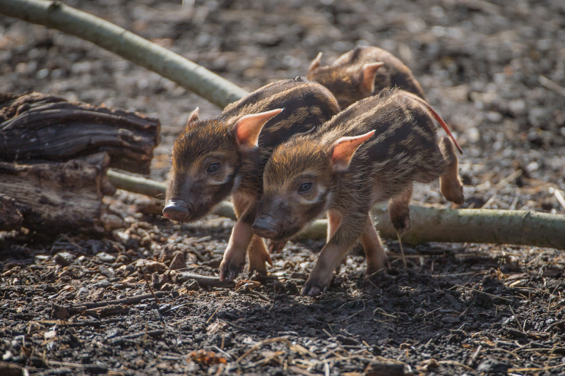 3_Stars in stripes! Trio of red river hoglets born at Chester Zoo (30)