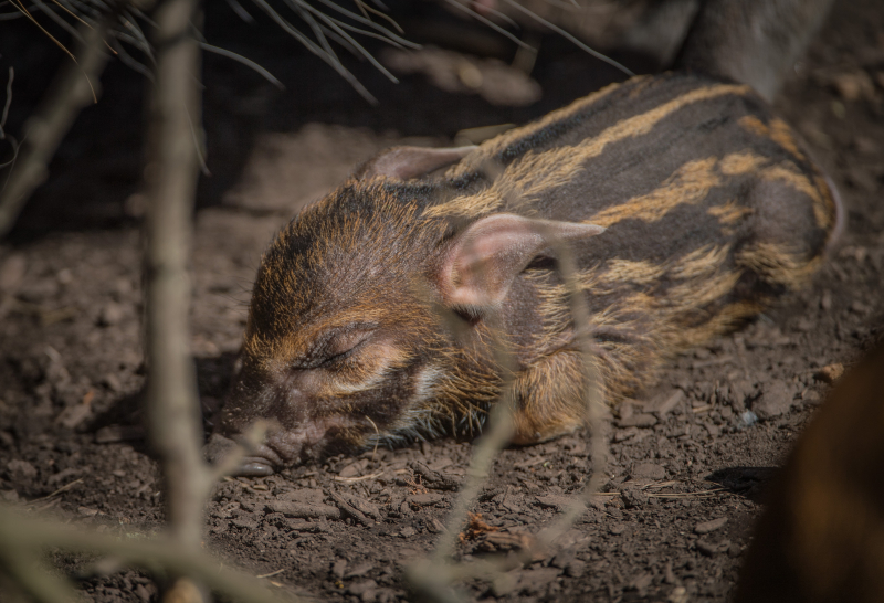 13_Stars in stripes! Trio of red river hoglets born at Chester Zoo (64)