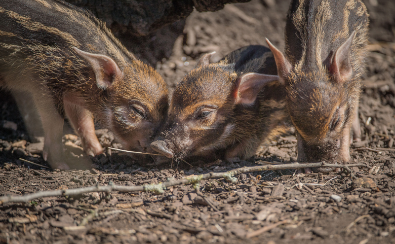 14_Stars in stripes! Trio of red river hoglets born at Chester Zoo (60)