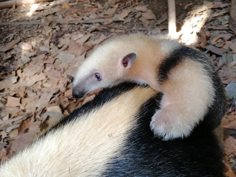 2_Tamandua baby (c) ZSL London Zoo 4