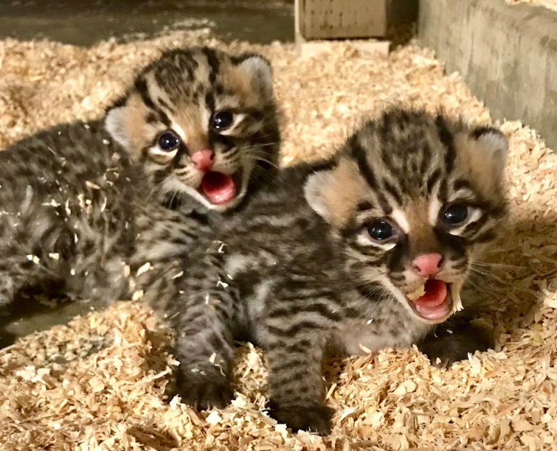 4.2 female ocelot kittens