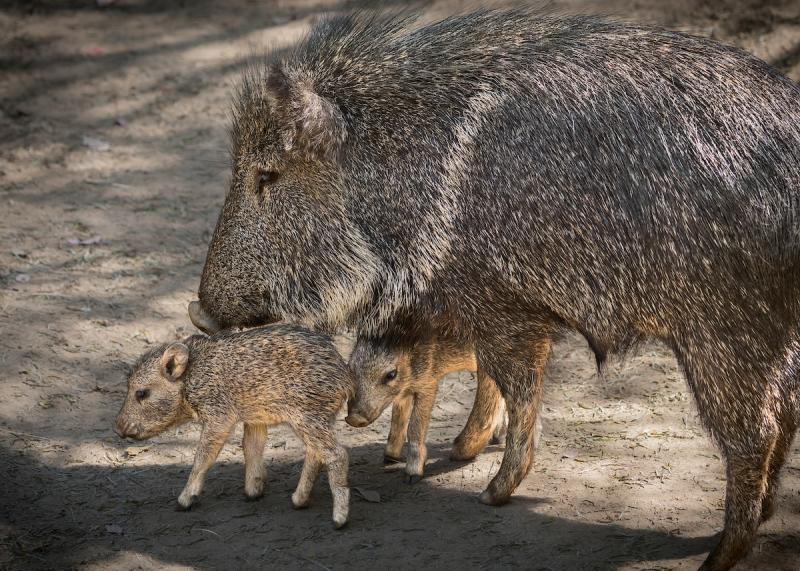 2.4 peccary piglet photo by Jamie Pham