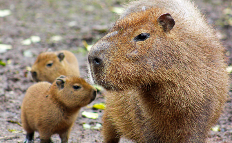 4_(3)  Capybara are the largest rodents in the world and closely resemble giant guinea pigs.