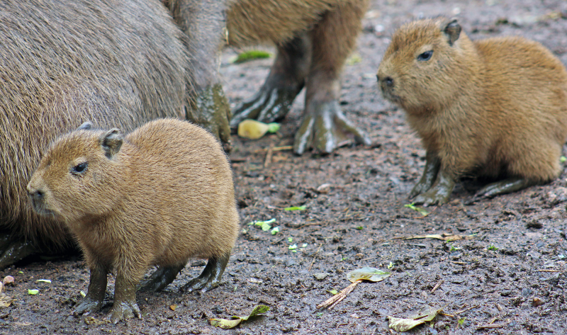 6_(5)  Belfast Zoo's capybaras share their home with some other South American 'amigos'  including giant anteaters and Darwin's rhea.