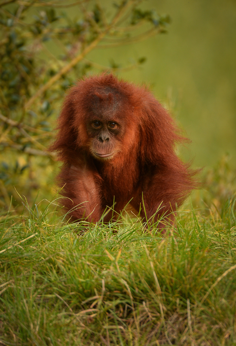 3_Mischievous Sumatran orangutan Tuti pesters her aunt in the most adorable way at Chester Zoo