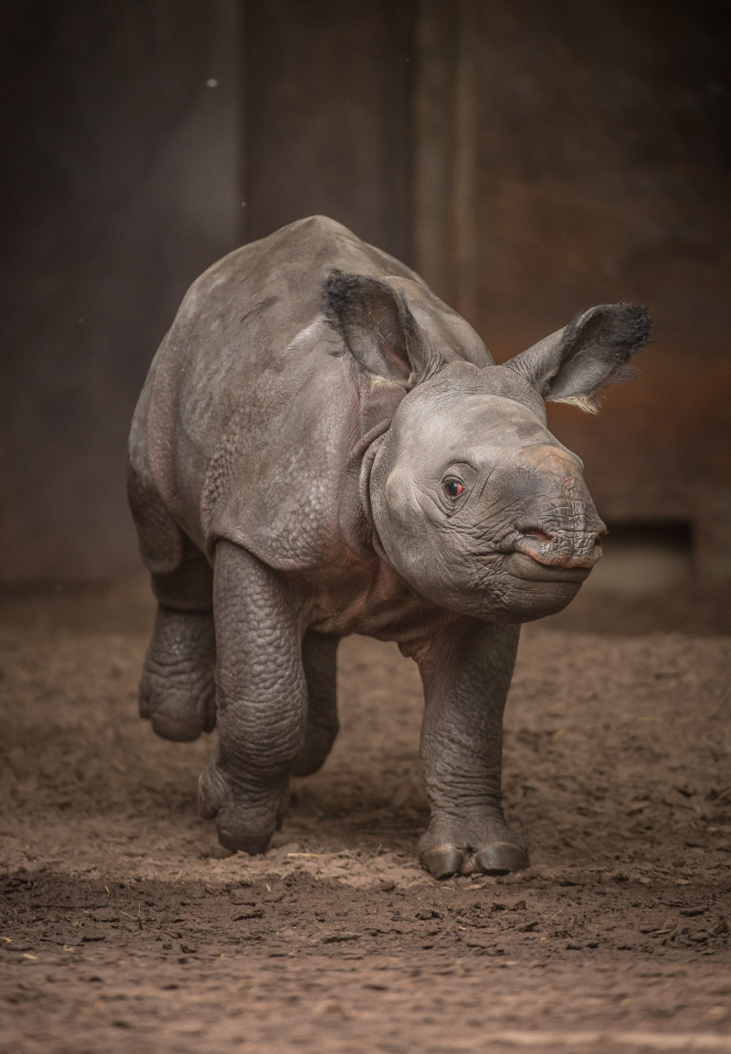 4_Rare greater one-horned rhino born at Chester Zoo (2)
