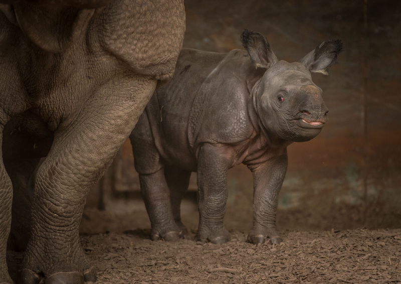 8_Rare greater one-horned rhino born at Chester Zoo (15)