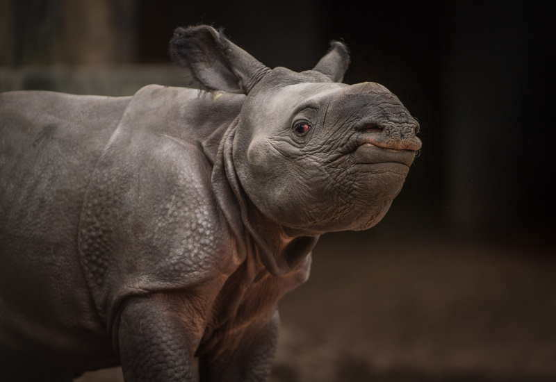11_Rare greater one-horned rhino born at Chester Zoo (21)