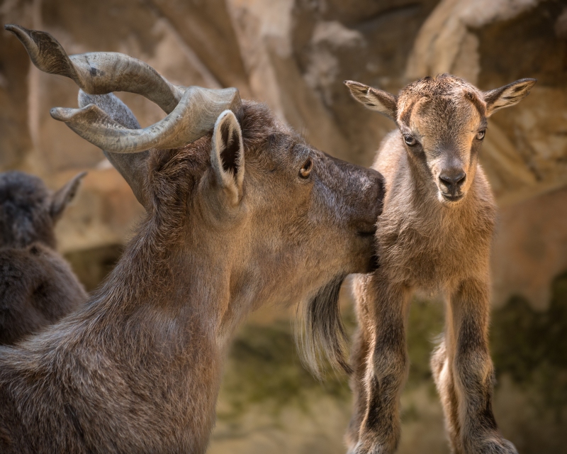 4_Markhor Newborn with Mom JEP_2845