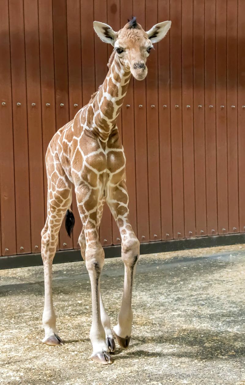 Giraffe Baby 05-2018-7042 E