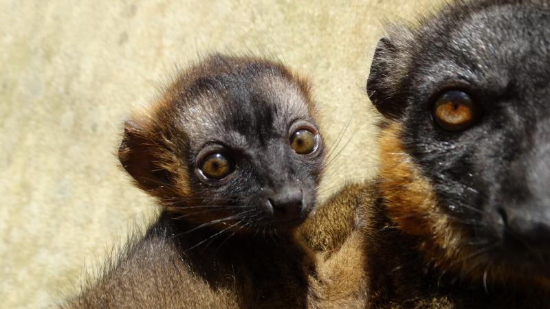 2_Collared Lemur baby (1)