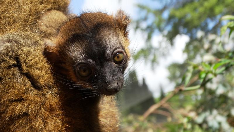 6_Collared Lemur baby (2)