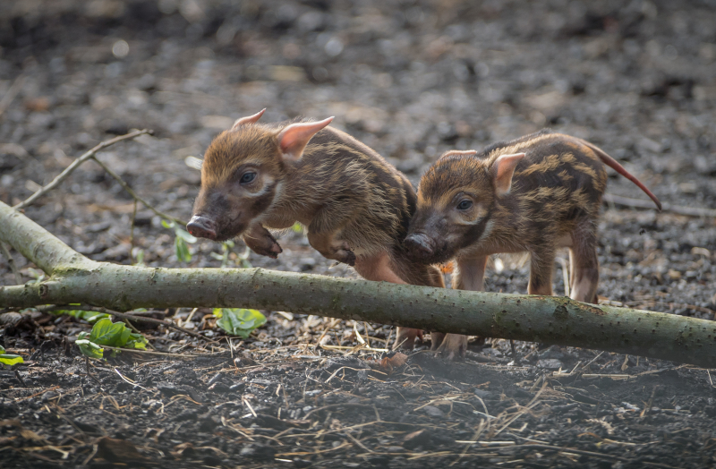 2_!Stars in stripes! Trio of red river hoglets born at Chester Zoo (14)