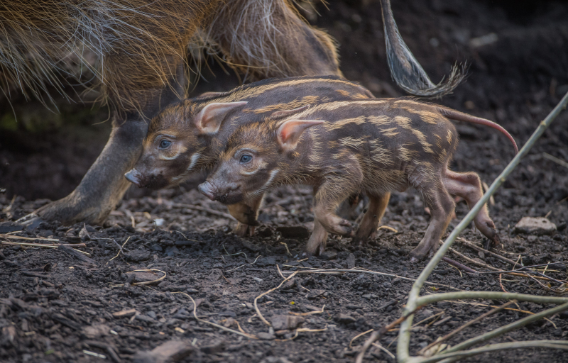 6_Stars in stripes! Trio of red river hoglets born at Chester Zoo (16)