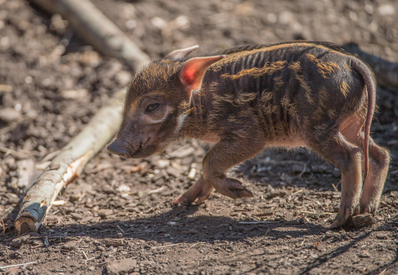 9_Stars in stripes! Trio of red river hoglets born at Chester Zoo (58)