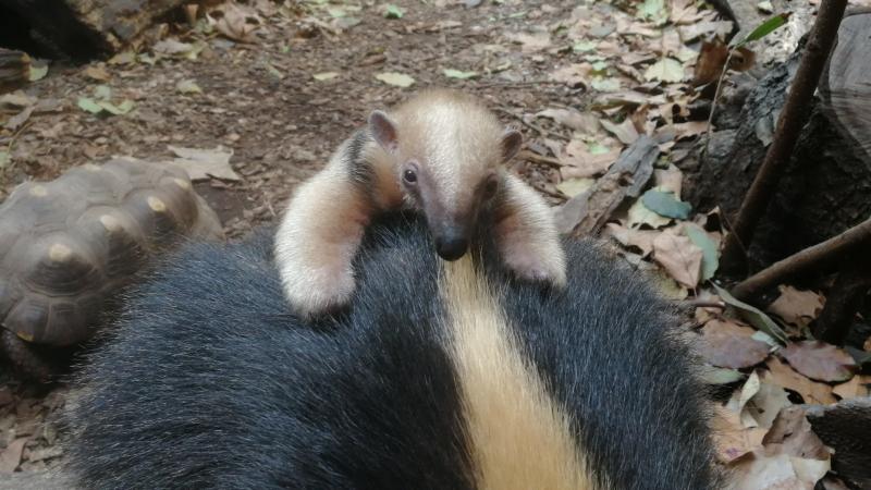 1_Tamandua baby (c) ZSL London Zoo 3