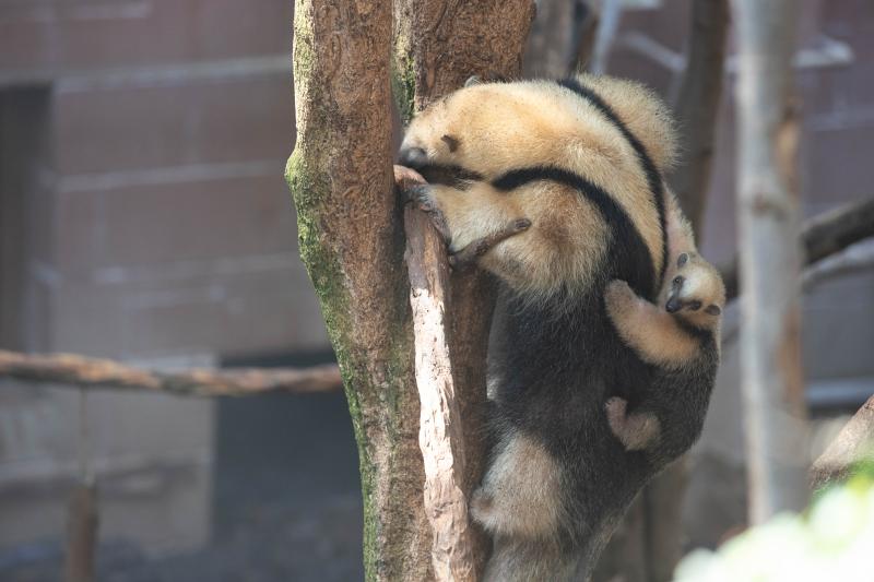 4_Tamandua baby (c) ZSL London Zoo 2