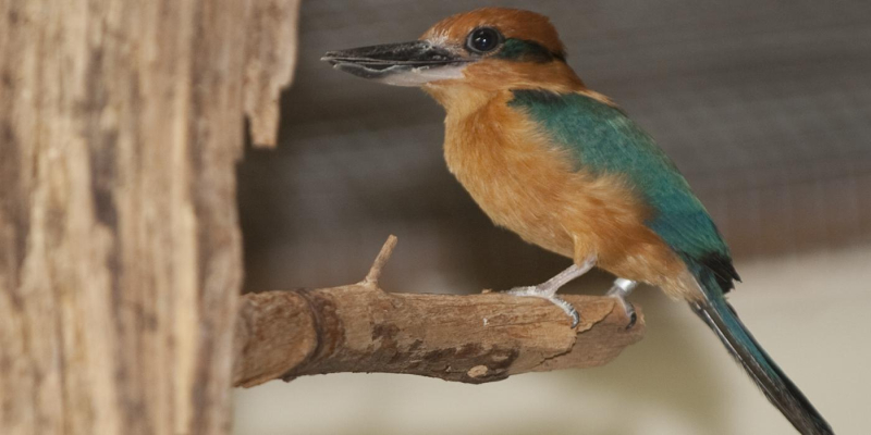 8_adult_guam_kingfisher_
