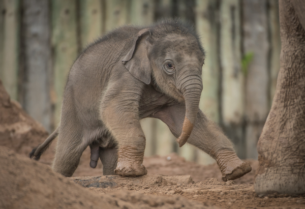 Elephant Calf Born Three Months Late Gets A Name Zooborns