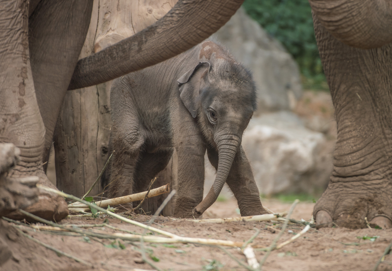 Baby elephant born at Chester Zoo three months after due date named Anjan (40)
