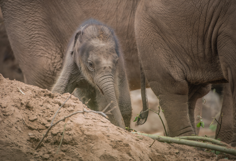 Baby elephant born at Chester Zoo three months after due date named Anjan (15)