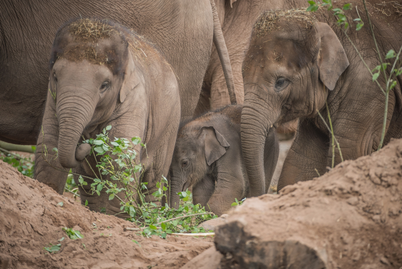 Baby elephant born at Chester Zoo three months after due date named Anjan (5)