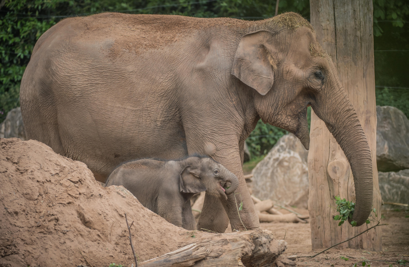 Baby elephant born at Chester Zoo three months after due date named Anjan (11)