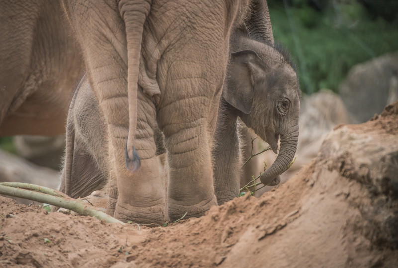 Baby elephant born at Chester Zoo three months after due date named Anjan (23)