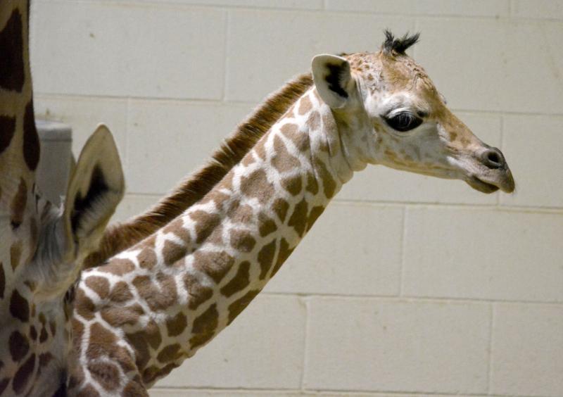 7_CheyenneGiraffe6