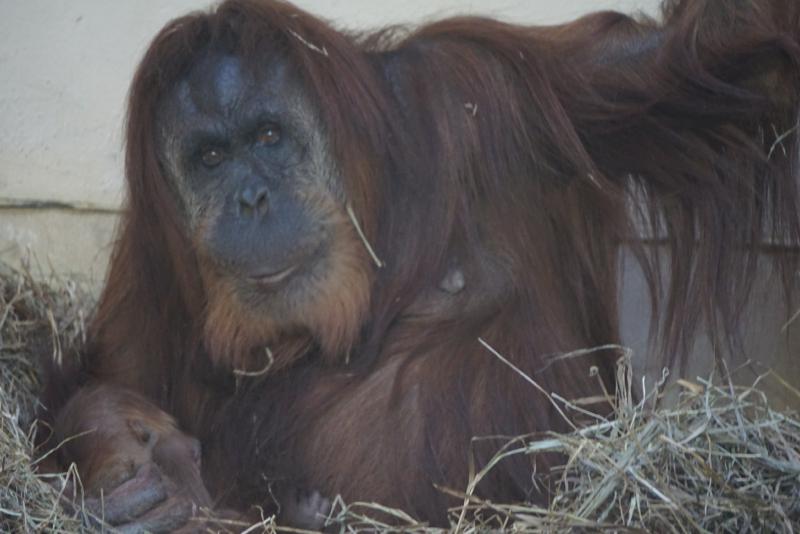 6_cheyenne orangutan 7